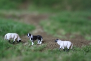 H0 / 00 Border-Collie mit 2 Suffolk-Schafen